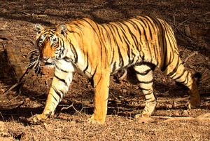 2Tiger_in_Ranthambhore