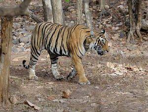 2Ranthambore_Tiger