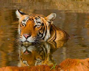 2T_17_(Panthera_tigris)_-_Koshyk
