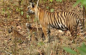 2Tigeress_with_cubs_in_Kanha_Tiger_reserve