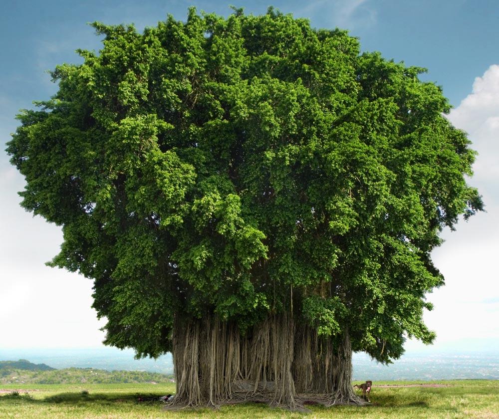 banyan tree information in hindi