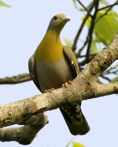 Yellow-footed_Green-Pigeon_(Treron_phoenicopterus)_male-8