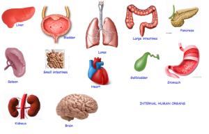 internal-human-organs